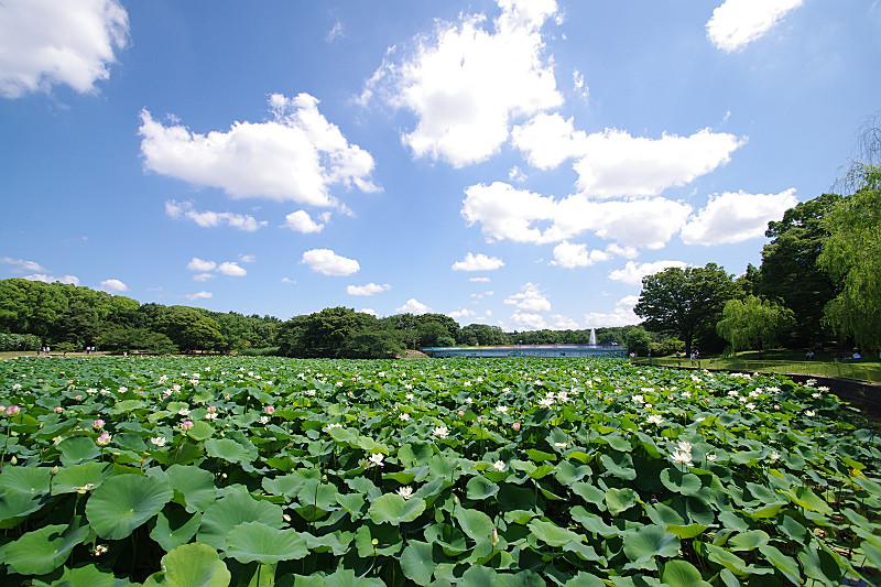 夏空の下の蓮池