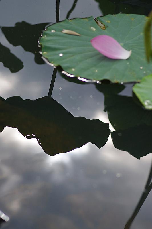 曇り空の蓮池