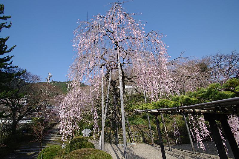 桂昌院様お手植えの桜
