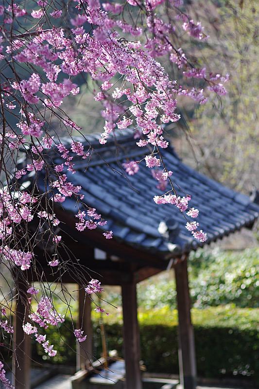 紅枝垂れ桜と手水舎