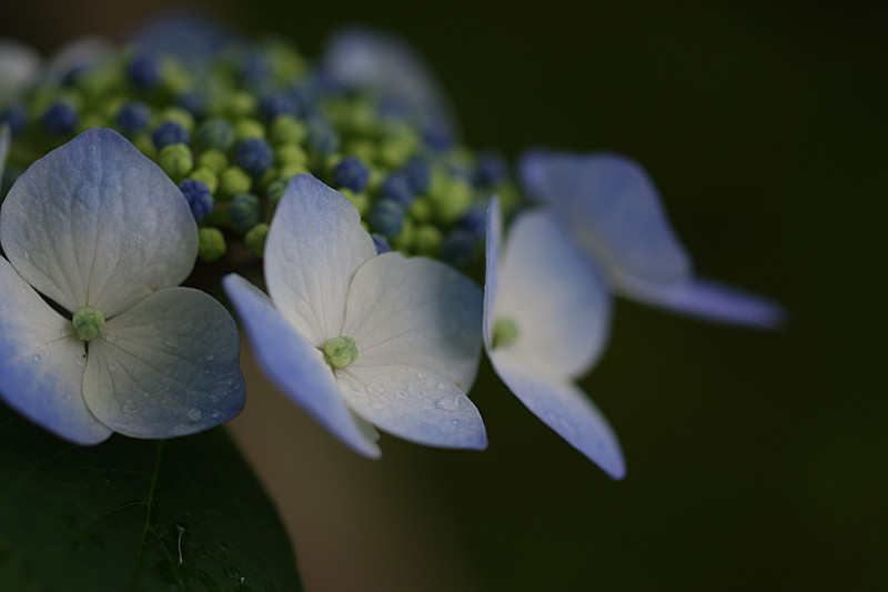 青の額紫陽花