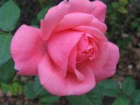 IMG_2584薔薇
