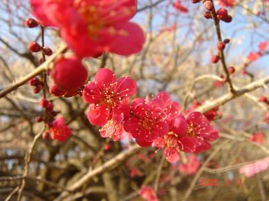 濃いピンクの梅も