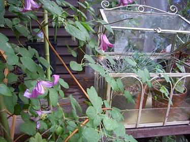 ブィオルナ系 ピンクで中心から白い筋が入る 5-10月