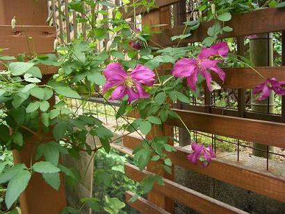 ビチセラ 下向き咲き 花6-9月