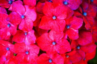 「紫陽花」