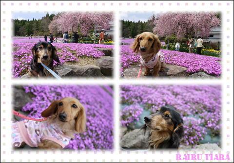 花じゅうたん④