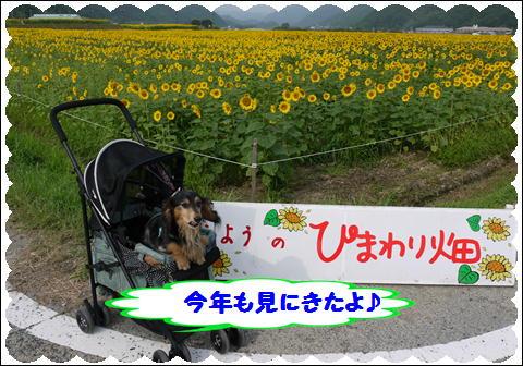 ひまわり2011③