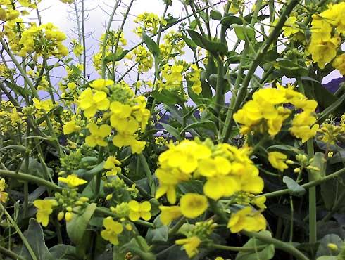 fc2_3_25(田んぼに咲く、白菜の花)