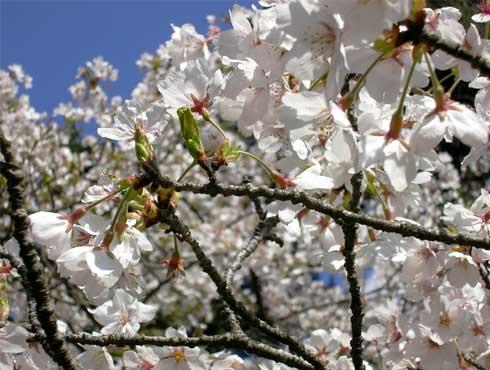 fc2_4_5(山里の桜)