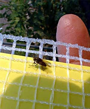 fc2_6_9(トマトの害虫マメハモグリバエ)
