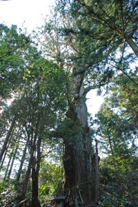 久保の大杉