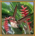 マメハチドリ