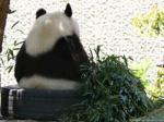 胴長熊猫(ドウナガパンダ)