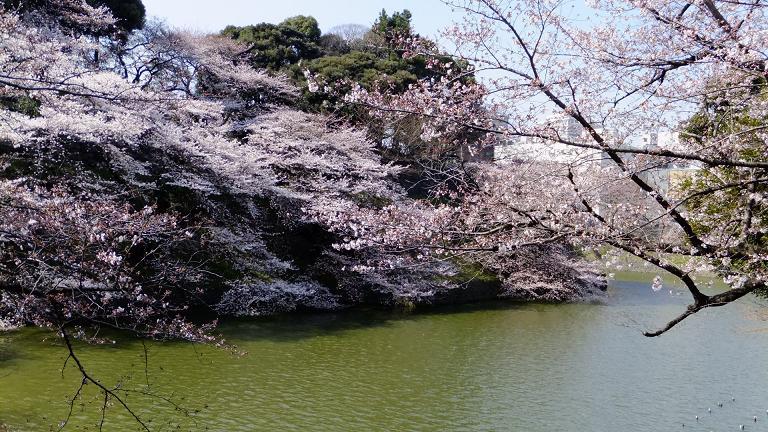 江戸城の桜1