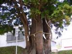 岩木山神社五本杉
