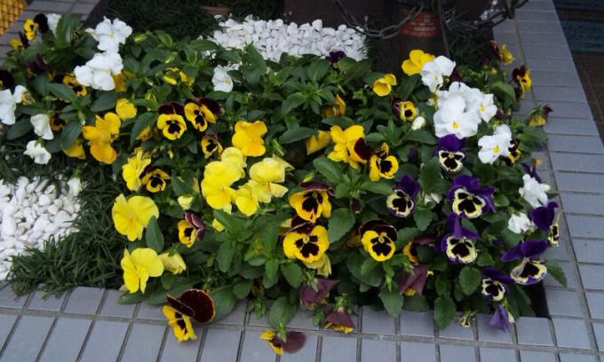 PANSY_20110506