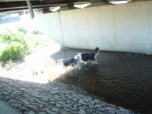今日はコリーが先に川の中へ。
