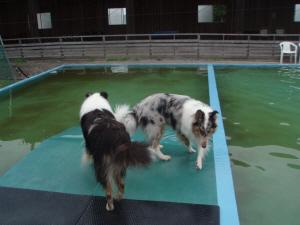 プールに入るかどうしようか迷うコリーズ?
