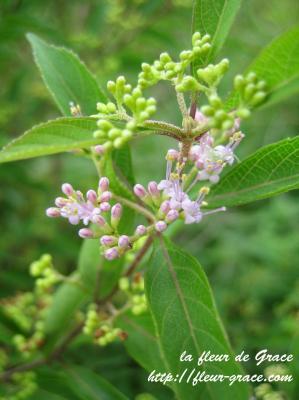 小紫式部の花
