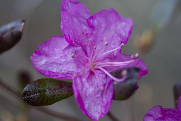 我が家の庭のエゾ紫ツツジ