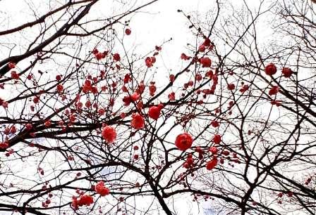 記念日の紅梅1