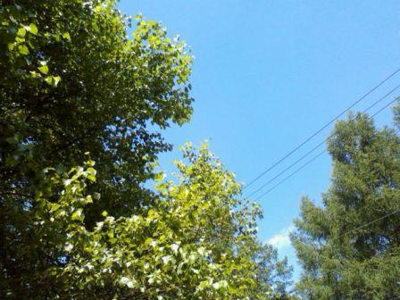 白樺の木がキラキラひかってる