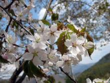 2011.05.08_山桜