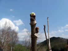 2011.05.08_タラノメ