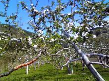 2011.05.20_リンゴの花