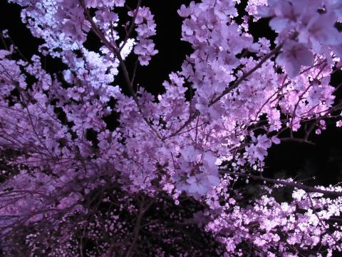しだれ桜見上げて