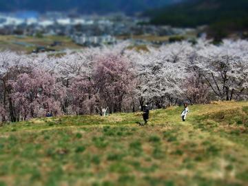 引法山 桜