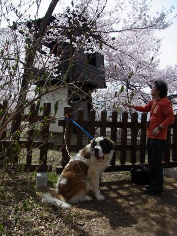 高遠桜 セントバーナード