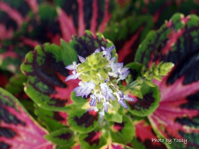 コリウス 花
