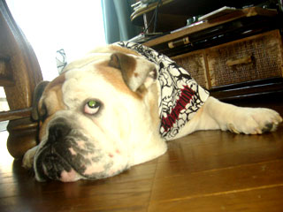 bulldog0001.jpg