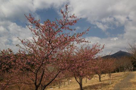 茨城県FPの河津桜