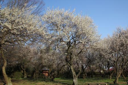 東持寺の梅
