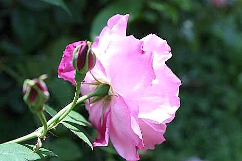 畑のバラの季節です♪