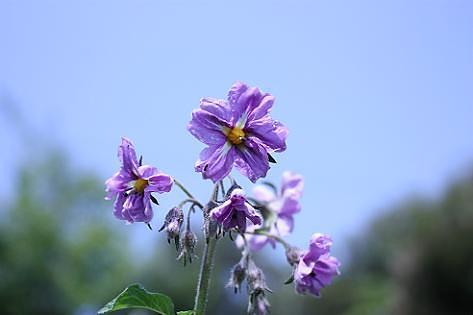 インカの花正面から♪