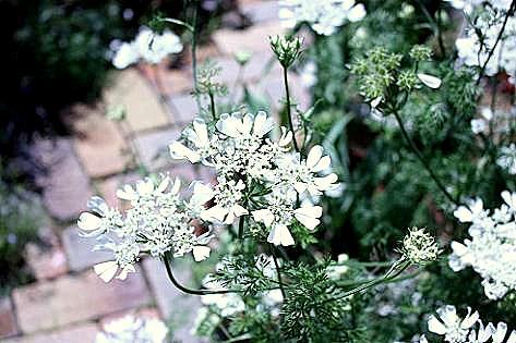 白いお花♪