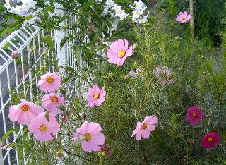 庭のコスモス