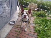 迷い犬ピットブル 2011.7.3