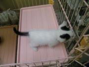 A191仔猫♀白黒まるちゃん2
