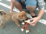 2011/6/19 おもちゃで遊んでもらうコロちゃん