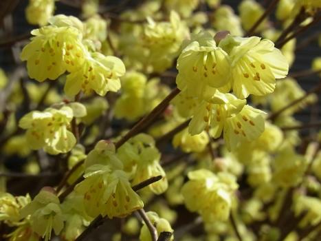 「ヒュウガミズキ ~小花2~3個の花序」