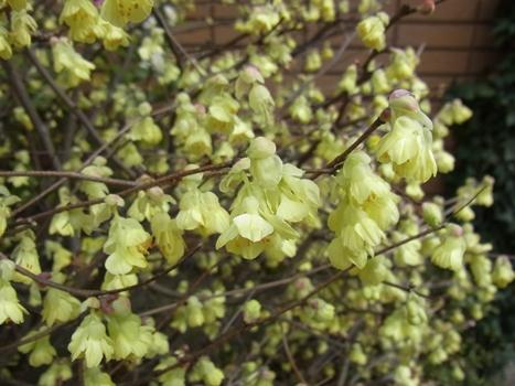 きれぎれの風彩 「ヒュウガミズキ」の花
