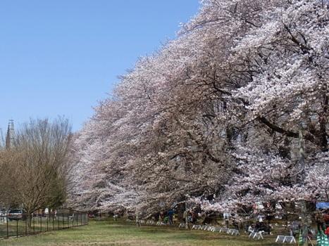 「サクラ ~無線山の桜並木(1)」