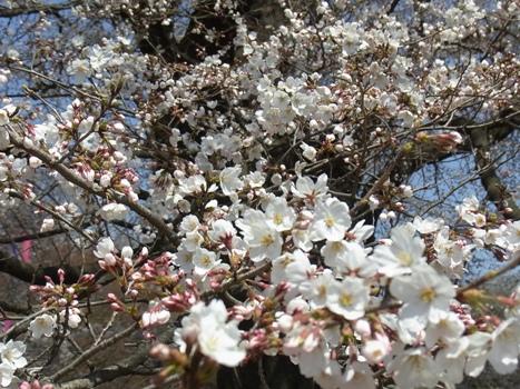 「サクラ ~無線山の桜並木(2)」