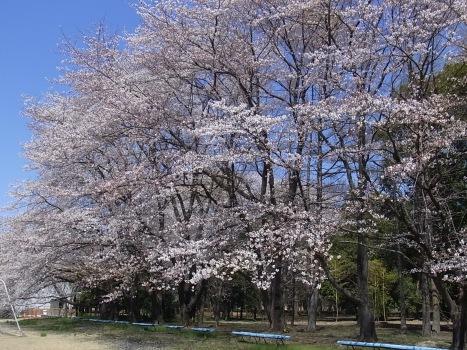 「サクラ ~無線山の桜並木(3)」