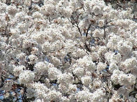きれぎれの風彩 「サクラ~無線山桜並木」1-16